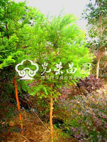 园林用途:水杉树姿优美,春夏季树叶青翠,秋季变成金黄,很有观赏价值.